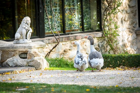 Stirling, Australia: Pet geese at Thorngrove