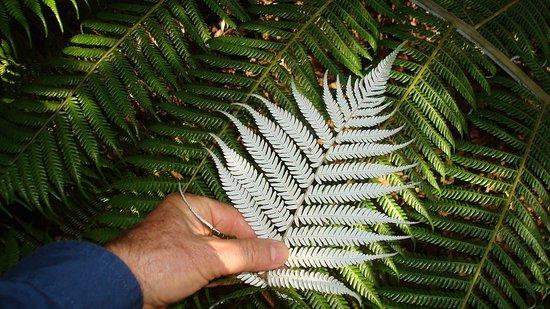 Matakana, Nowa Zelandia: Take a close up photograph of the silver fern New Zealand's national symbol
