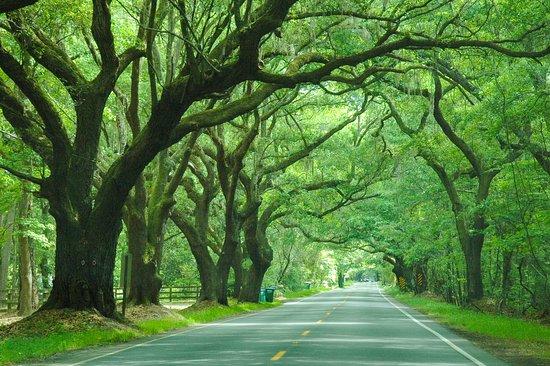 Wadmalaw Island, SC: Tree tunnel along Maybank Highway