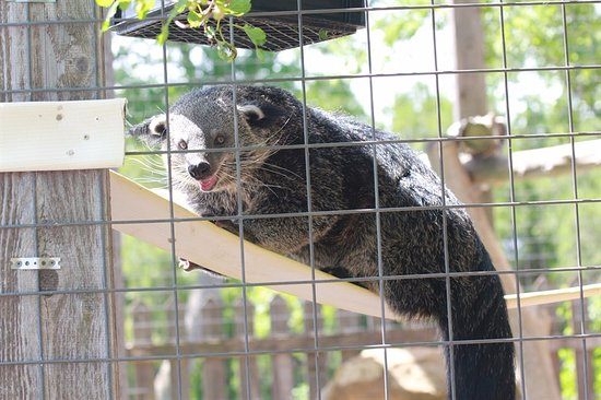 Great Bend, KS: binturong - they smell like hot buttered popcorn!