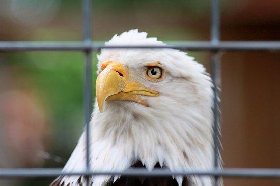Great Bend, KS: Bald eagle