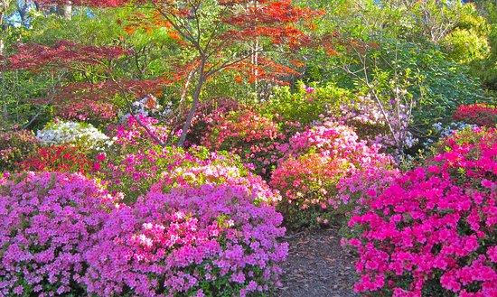 Rhododendron Garden Blackheath close to Gardeners Inn Hotel