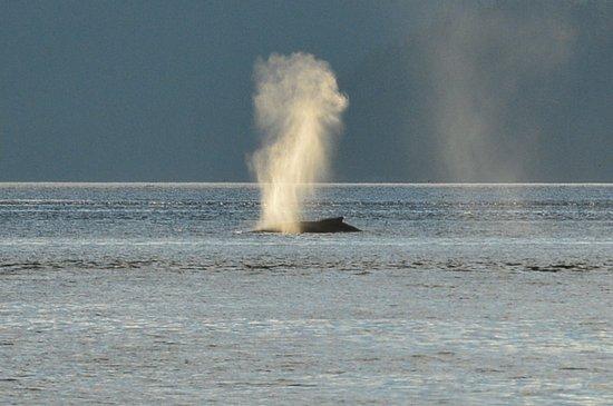 Kingfisher Wilderness Adventures - Orca Waters Kayak Day Trips: ザトウクジラの噴気です