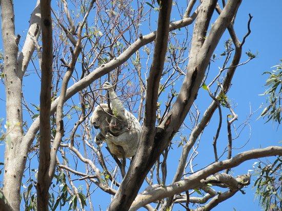 Dubbo, Australia: koala mecca