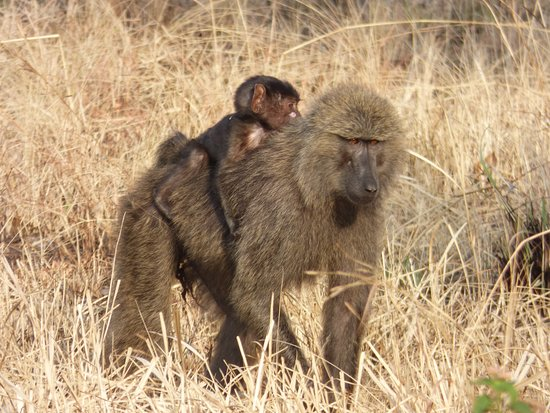 Kasese, Ουγκάντα: babboon with youngster in Queen Elisabeth NP