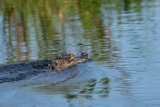 Sebring, FL: Det bedste syn vi fik af alligator på denne tur