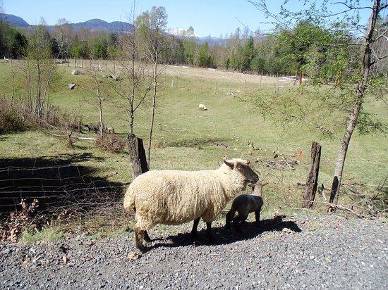 Los Lagos Region, Χιλή: Pode-se ver animais pelos arredores de Quelhue. Uma boa experiência para crianças.
