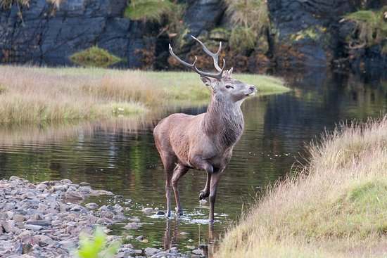 Glenborrodale, UK: Resident stag surveying his domain