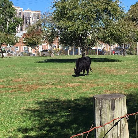 Floral Park, Нью-Йорк: A cow grazing at the Queens County Farm Museum