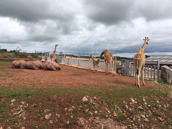 Ulverston, UK : Giraffes & Rhinos