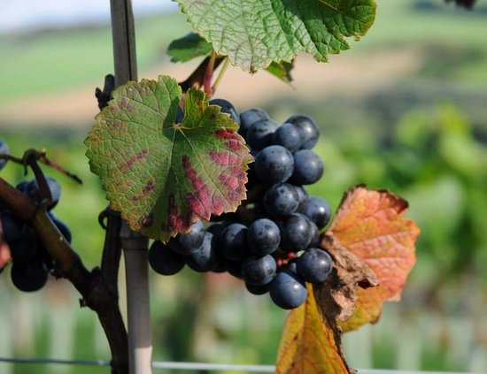 Lewdown, UK: Our Rondo Grapes