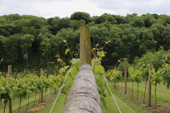 Lewdown, UK: Madeleine Angevine Vines