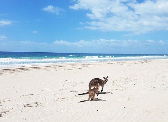 Bribie Island, Australia: kangaroos on the beach