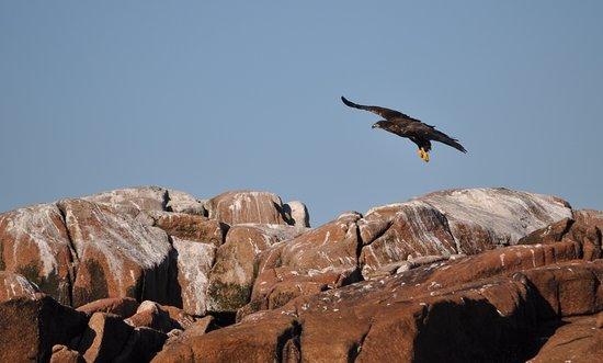 Bass Harbor, ME: Immature Bald Eagle