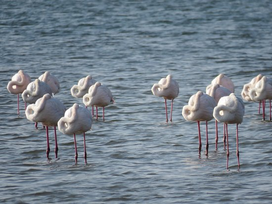 Walvis Bay, Namibia: Flamingos more close up