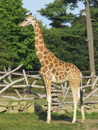 Giraffe at Olomouc zoo