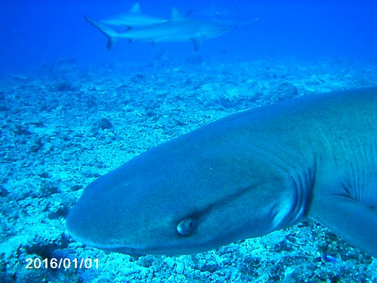 Castaway Island (Qalito), Fiyi: shark