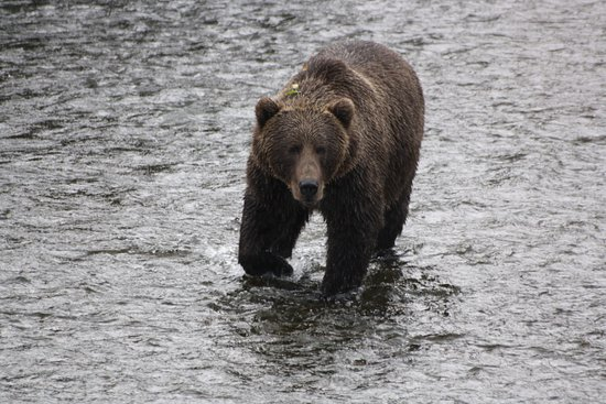 A Kodiak bear mum
