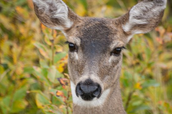 Kodiak, AK: A black tailed Sitka deer