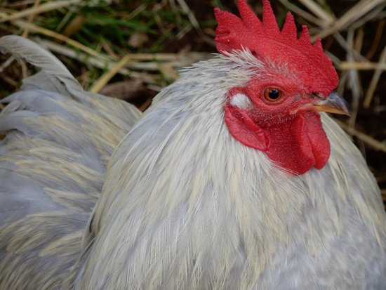Guiting Power, UK: chicken.