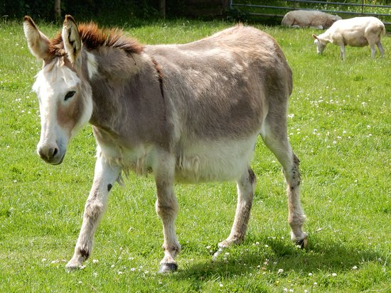 Guiting Power, UK: donkey.
