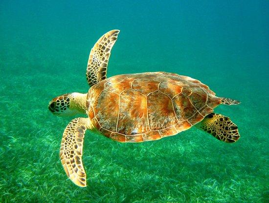 Placencia, Belize: Loggerhead sea turtle while snorkelling