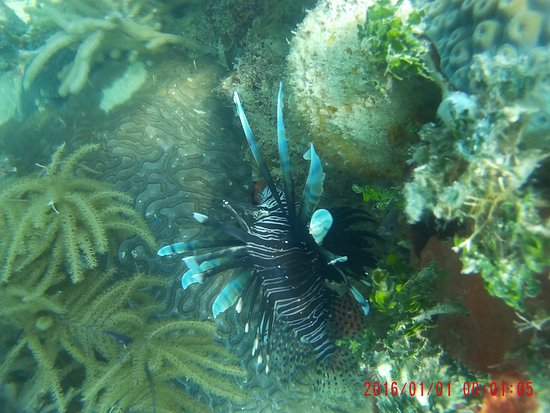 Placencia, Belize: Lion fish while snorkelling the reef