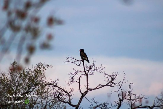 Balule Nature Reserve, Sudáfrica: Bateleur sighting while on game drive.