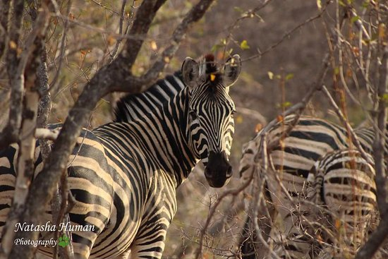Balule Nature Reserve, Sudáfrica: Zebra sighting while on game drive.