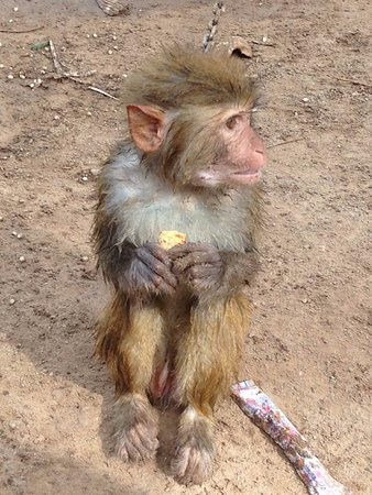 Chiang Saen, Thailand: poor monkey all alone and chained up