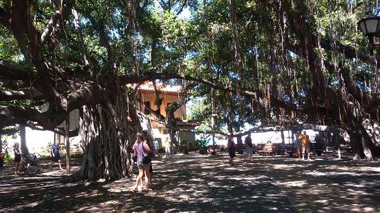 il baniano picture of royal lahaina resort lahaina tripadvisor