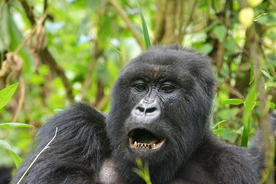 Musanze, Ruanda: Majestic Silverback on our trek less than 40 minutes away