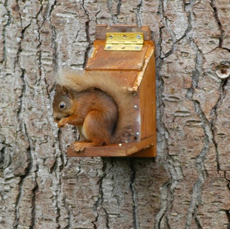 Dulnain Bridge, UK: Red Squirrel in the gardens
