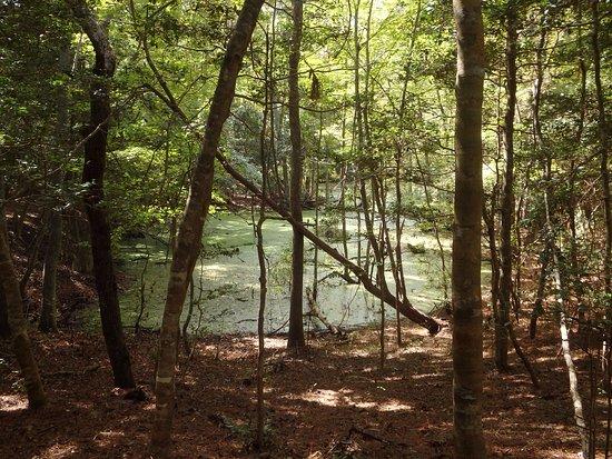 Sweetgum Swamp Trail: Maritime forest swamp