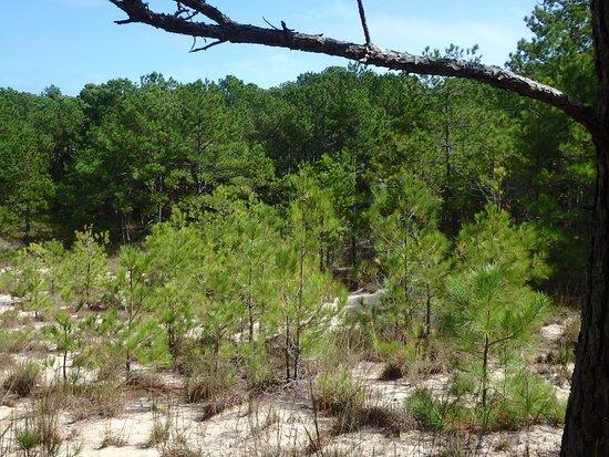 Sweetgum Swamp Trail: Maritime forest sans the swamp