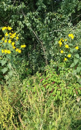 Lemont, IL: Interesting mix of plants and flowers on trail.