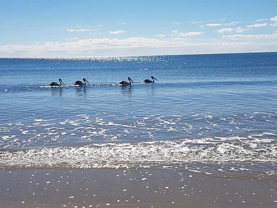Woodgate, Australia: Pelicans on the beach