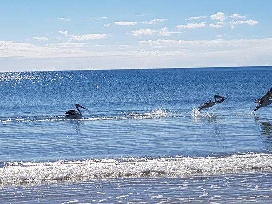 Pelicans on Woodgate beach