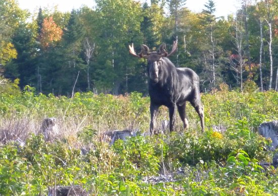 Northeast Whitewater - Day Tours : Young male moose coming out of the forest in the early morning.