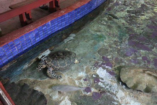 Green Island, Australia: Hawkspill turtle