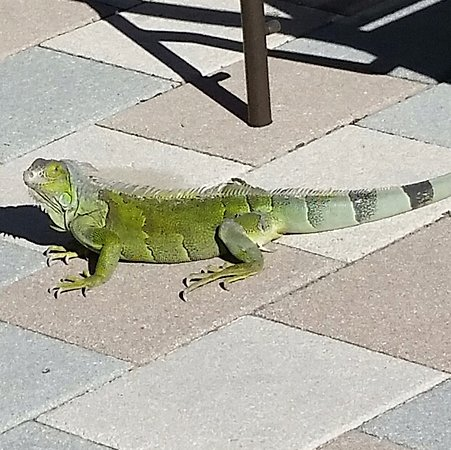 Hyatt Windward Pointe: One of the resident iguanas posing for his photo shoot!