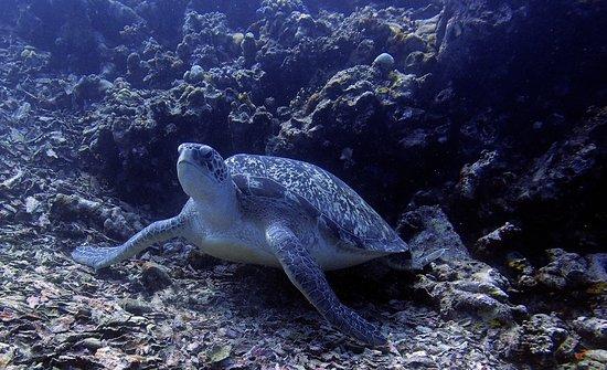 Gili Air, Indonesia: Green turtle