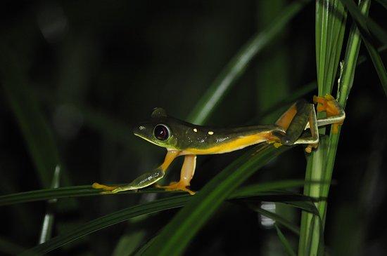 Sierpe, Costa Rica: Frosch
