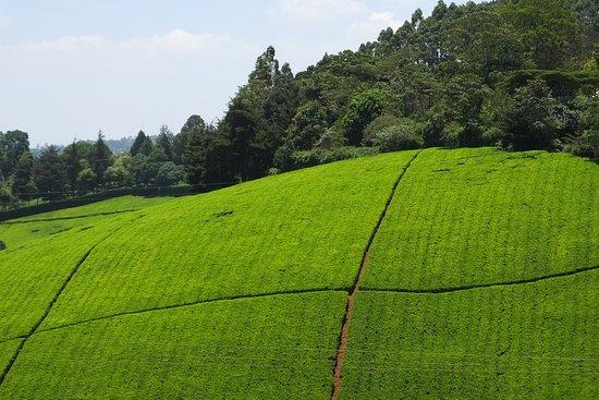 Limuru, Kenia: Tea