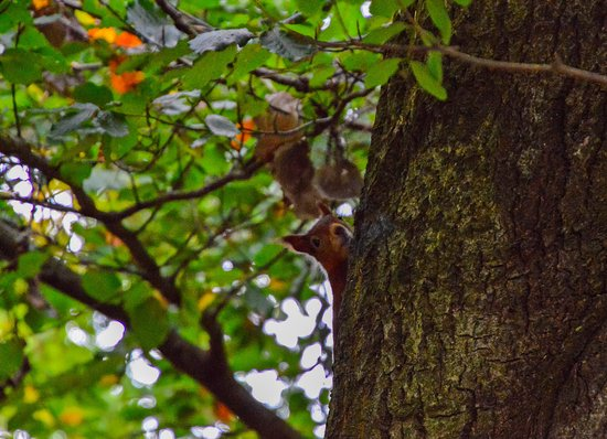Lower Saxony, Germany: Red Squirrel.