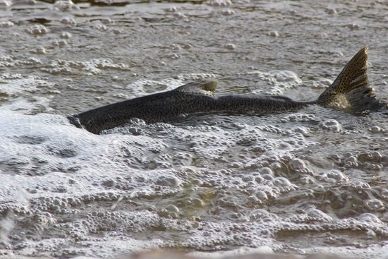 Wiarton, Canadá: Chinook Salmon run before the falls near our B&B