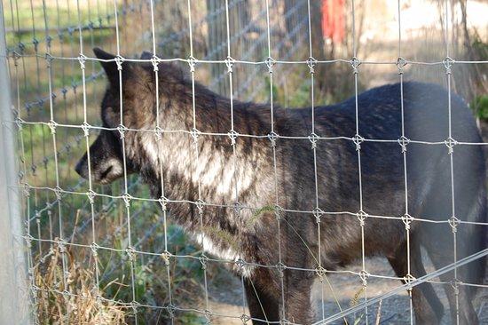 Lititz, Pensylwania: wolf