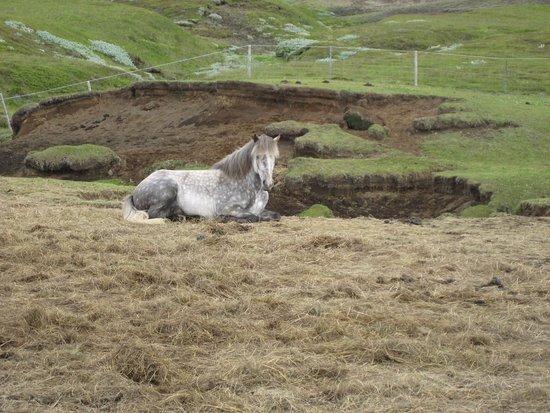 Hekluhestar: Icelandic horse