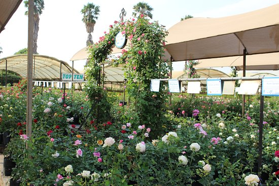 Ludwig's Rose Farm