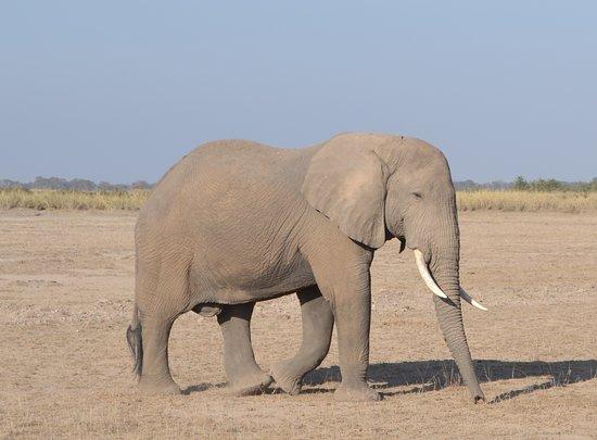 Amboseli National Park, Kenya: Elephants on the morning drive